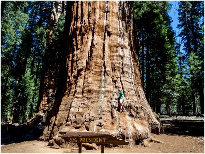 Секвойя Президент – одно из самых старых деревьев планеты