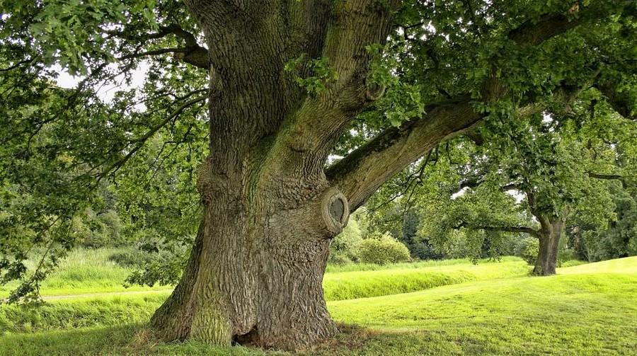 В Киеве создана интерактивная карта старых деревьев