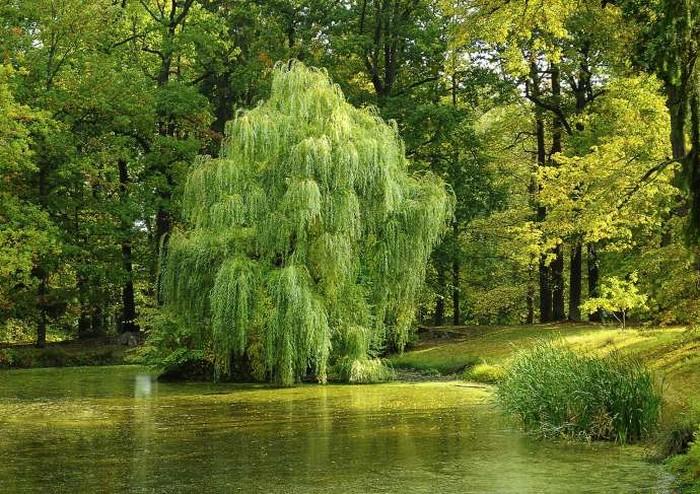 В листьях ивы найдено вещество, обладающее способностью уничтожать клетки злокачественных опухолей