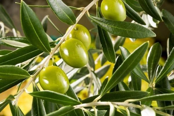 Оливковые деревья в Европе погибают от смертельной болезни