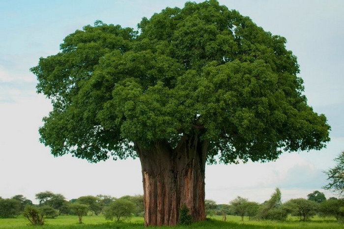 Самые твердые породы дерева