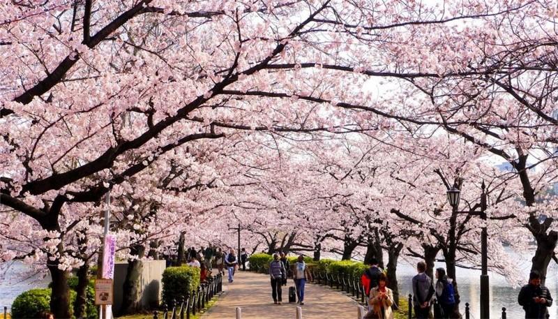 Ханами – японская традиция любования цветущей сакурой