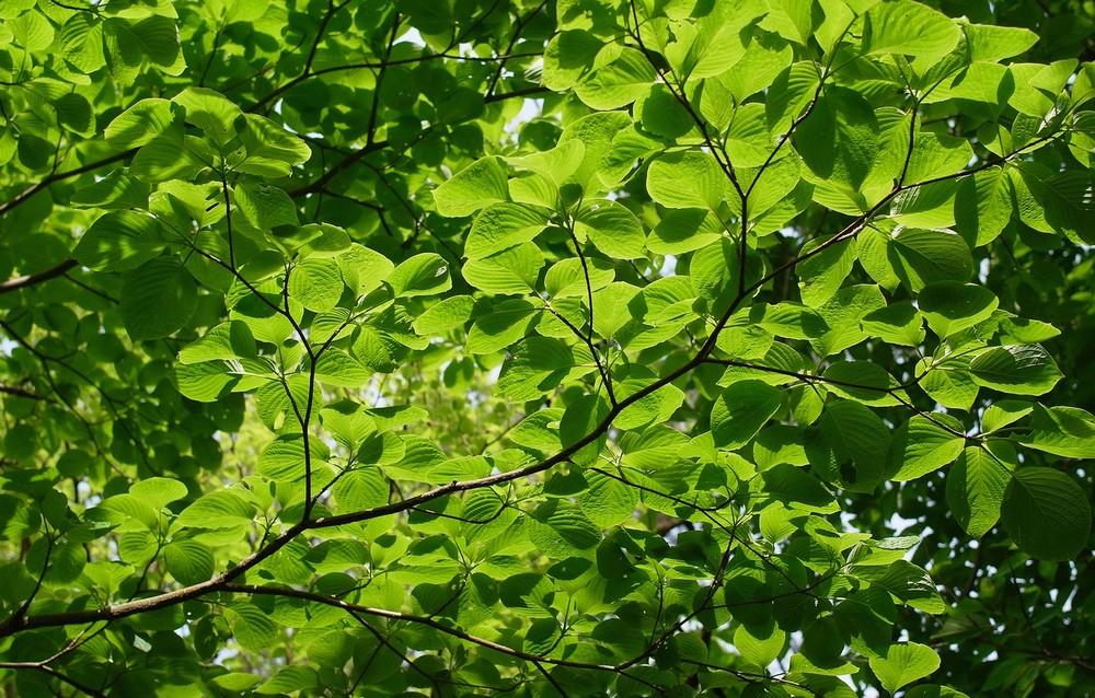 О загрязнении окружающей среды просигналят листья деревьев
