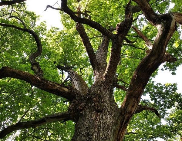 В России деревом года стал тургеневский дуб