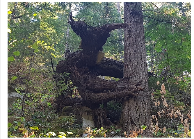Ученые утверждают: деревья постоянно общаются между собой