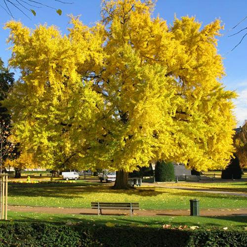 Бессмертное дерево гинкго билоба не стареет