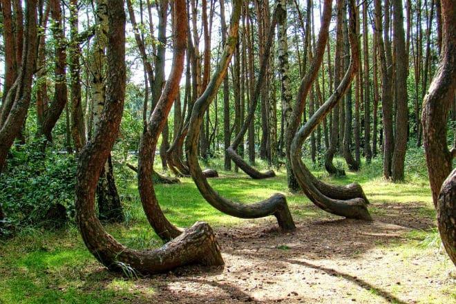 Где расположен танцующий лес, и когда именно весна посетит территорию Женевы? Интересные подробности о современных деревьях